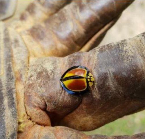 Australoneda Bourgeoisi lady beetle 01